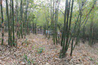 สวนไผ่กิมซูง 3 ไร่ ราคาขายทั้งหมด 600000 บาท